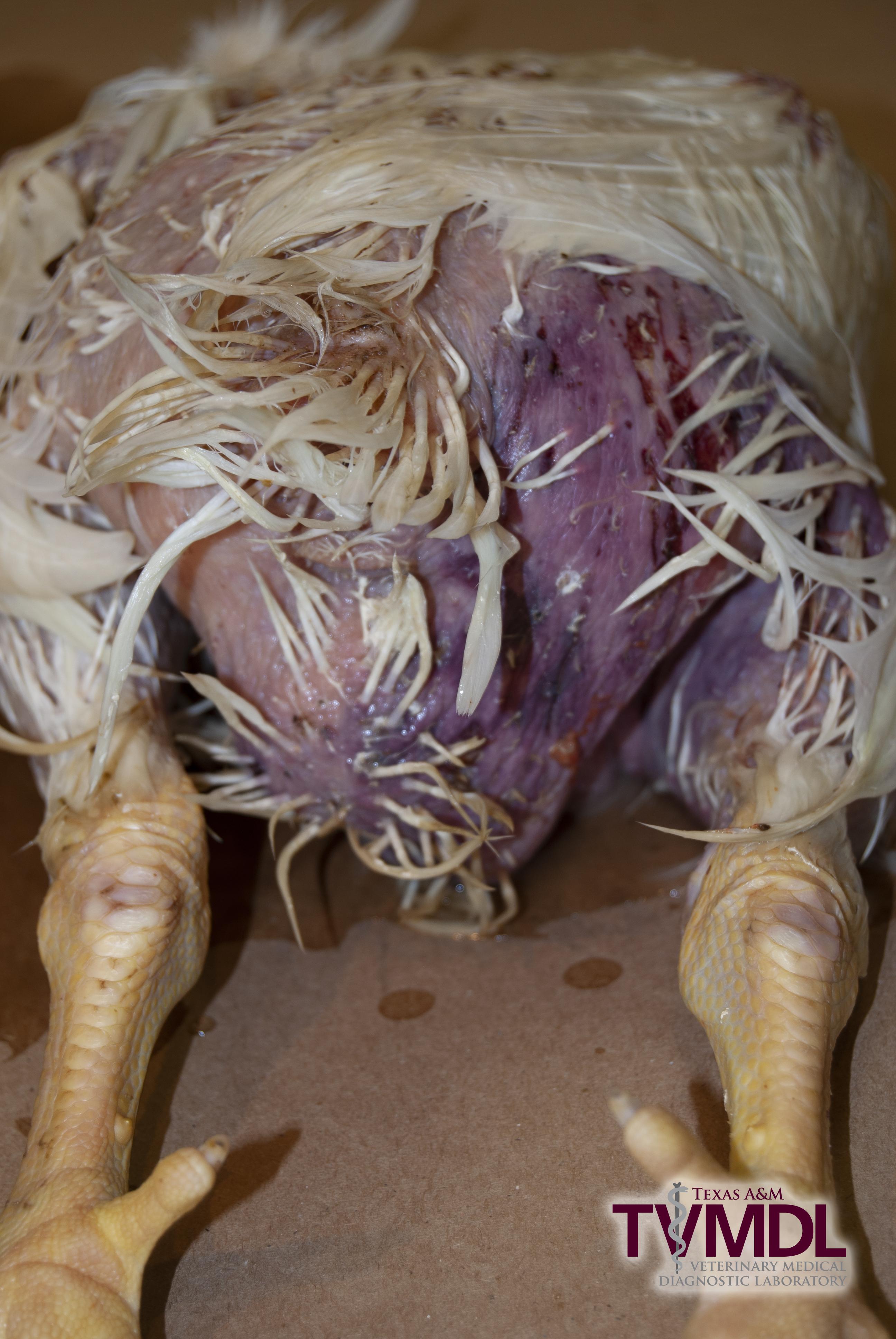 CREDIT: Texas A&M Veterinary Medical Diagnostic Laboratory - Avian Cases